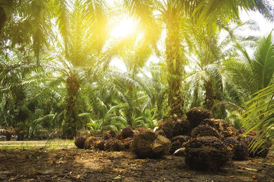 Palm Oil: Sustainable And Environmentally Friendly