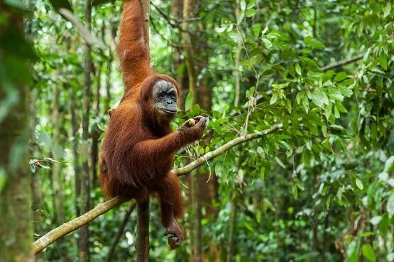 Orangutan small