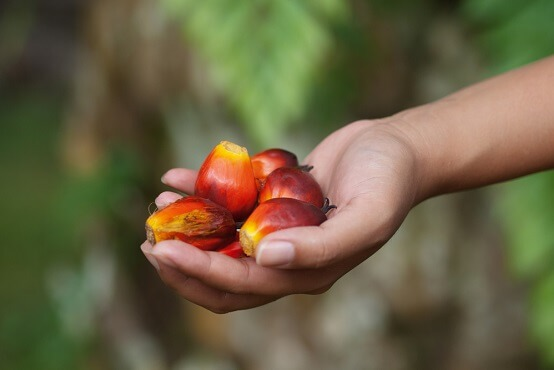 Palm fruit in hand