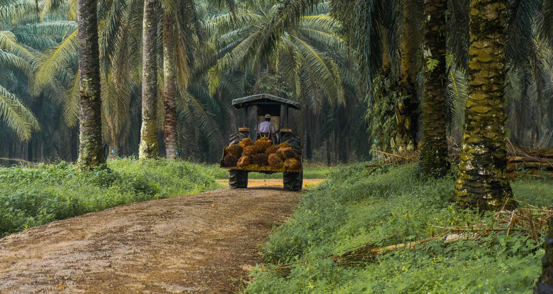 Palm oil plantation with transport